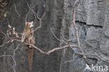 Kroonmaki (Eulemur coronatus)