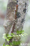 Madagaskarplatstaartgekko (Uroplatus fimbriatus)