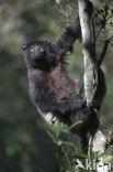 Milne-Edwards sifaka (Propithecus edwardsi)