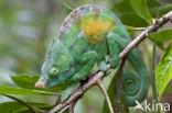 Parsons kameleon (Calumma parsonii)