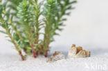 Zandtulpje (Peziza ammophila)