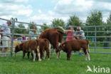 Brandrode koe