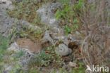 Arubaanse ratelslang (Crotalus durissus unicolor)