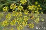 Dille (Anethum graveolens)
