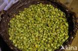 Gewone hop (Humulus lupulus)