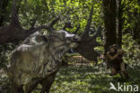 Reuzenhert (Megaloceros giganteus)
