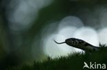 Ringslang (Natrix natrix)