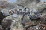 Zwartbekgrondel (Neogobius melanostomus)