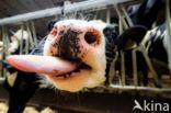 Fries hollandse zwartbonte Koe (Bos domesticus)