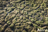 Veldmuis (Microtus arvalis)