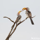 Zuidelijke Geelsnaveltok (Tockus leucomelas)