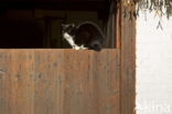 Huiskat (Felis domesticus