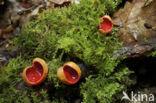 Krulhaarkelkzwam (Sarcoscypha austriaca)