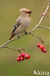 Pestvogel (Bombycilla garrulus)