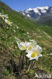 Alpenanemoon (Pulsatilla alpina)