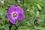Alpenhaagroos (Rosa pendulina)