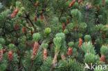 Bergden (Pinus mugo)