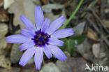Blauwe sla (Lactuca perennis)