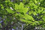 Gewone esdoorn (Acer pseudoplatanus)
