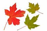 Zilver esdoorn (Acer saccharinum)