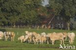 Blonde d Aquitaine koe (Bos Domesticus)