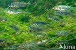 Driedoornige stekelbaars (Gasterosteus aculeatus)