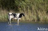 Holsteiner Koe (Bos domesticus)