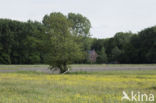 Knotwilg (Salix alba)
