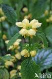 Bonte gele dovenetel (Lamiastrum galeobdolon cv.  Florentinum )