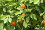 Citrus aurantium ssp aurantium