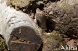 Rosse woelmuis (Myodes glareolus)