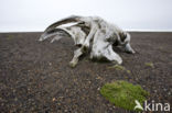 Groenlandse walvis (Balaena mysticetus)
