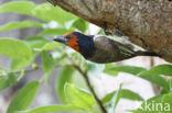 Halsbandbaardvogel (Lybius torquatus)