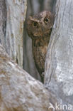 Madagaskardwergooruil (Otus rutilus)