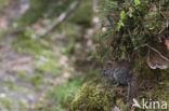 Rosse woelmuis (Clethrionomys glareolus)