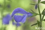 Salvia (Salvia patens oceana blue)