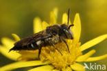 Duinkegelbij (Coelioxys mandibularis)