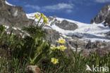 Gele alpenanemoon (Pulsatilla alpina subsp. apiifolia)