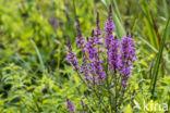 Gewone kattenstaart (Lythrum salicaria)