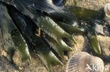 Kleine Zee-eik (Fucus spiralis)