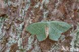 Kleine zomervlinder (Hemithea aestivaria)