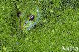 Middelste groene kikker (Rana klepton esculenta