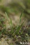 Slijkgroen (Limosella aquatica)