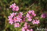 Echt duizendguldenkruid (Centaurium erythraea)