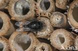 Gehoornde metselbij (Osmia cornuta)