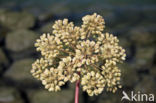 Gevlekte scheerling (Conium maculatum)