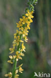 Gewone agrimonie (Agrimonia eupatoria)