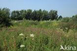 Gewone bereklauw (Heracleum sphondylium)