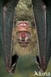 Grote hoefijzerneus (Rhinolophus ferrumequinum)