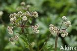Heelkruid (Sanicula europaea)